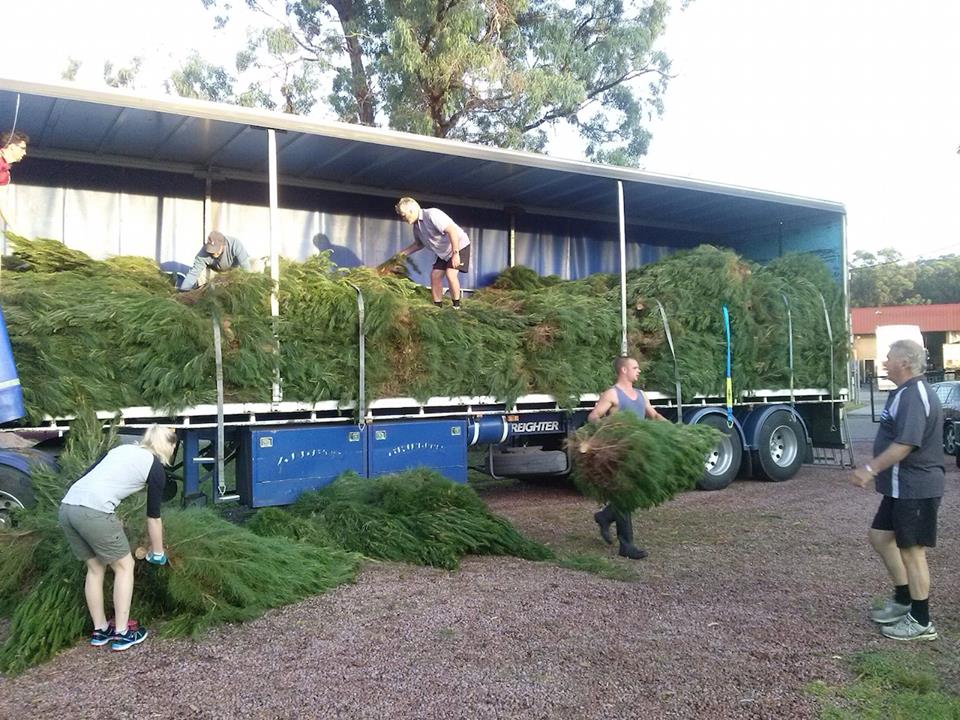 Christmas Trees, Terrigal Rotary Park -